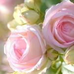 Pink roses, bud, rose wallpaper