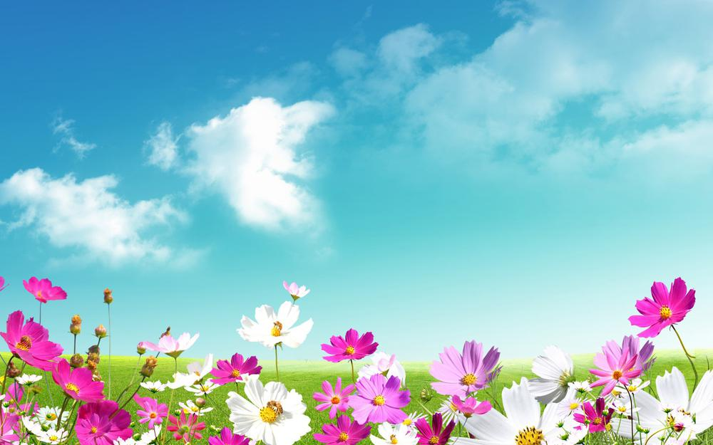 Chamomile, pink, white, green grass, sky, wallpaper