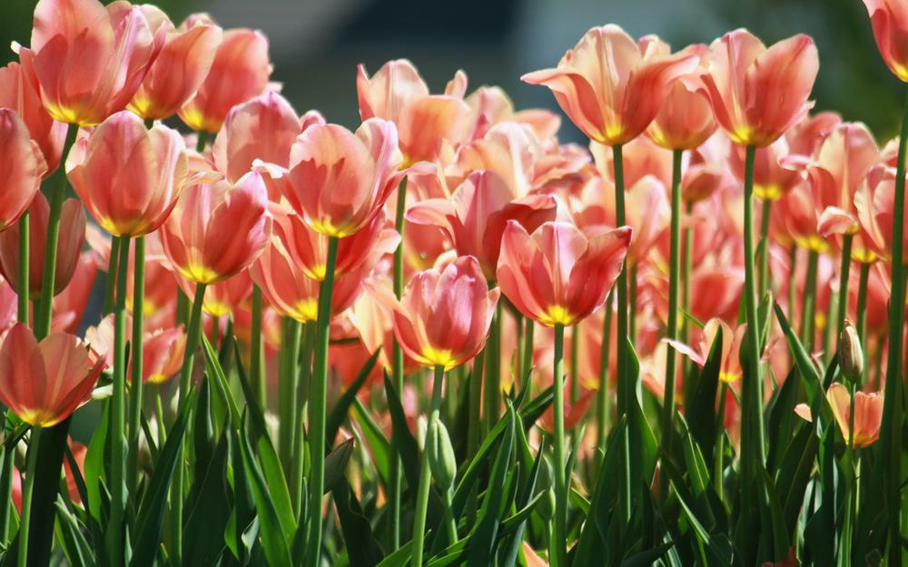 Bed, flowers, tulips, many