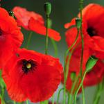 Red poppies, poppy pictures, wallpaper ultra-clear