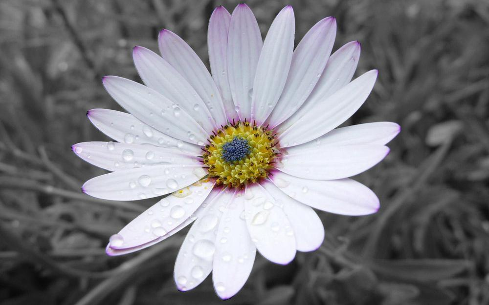 Petals, striped, white, flower desktop background