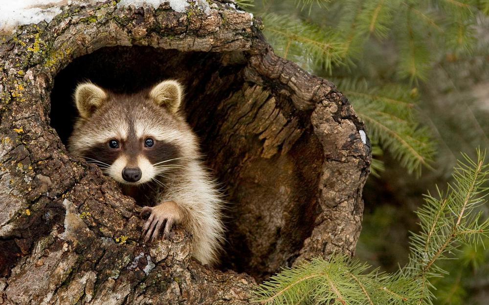 Raccoons, forest, trees, tree holes, branches, lovely eyes, staring at you, animal wallpaper