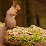 Forest, tree, trunk, squirrels, squirrels, adorable phase, cute animal desktop wallpaper