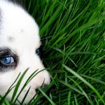 Dog, animal, green, cute, sweet, grass, eyes