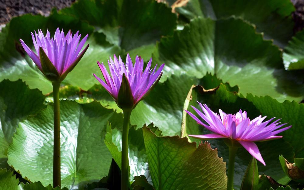 Leaves, water lilies, light