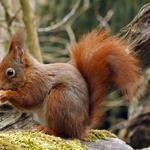 Forest, squirrels, nature, in search of food, trees, moss, cute animal theme desktop wallpaper