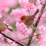 Birds, couple, tree, pink, garden, branches, flowers, animals wallpaper