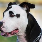 Spotted, face, dog, amstaff, chain, black and white, collar