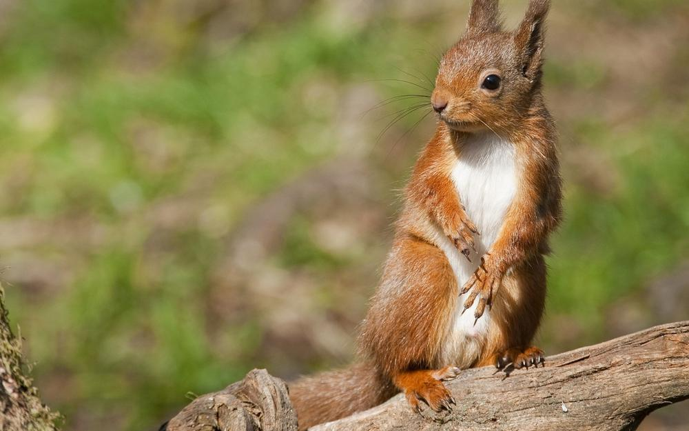 Squirrels, facial expressions, posture, forest, wood piles, animal wallpaper