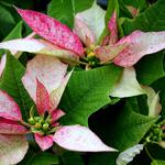 Poinsettia, pink, flower