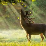 Green, dawn, deer, trees, sunlight, animal wallpaper