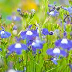 Blue, meadow, flowers, green