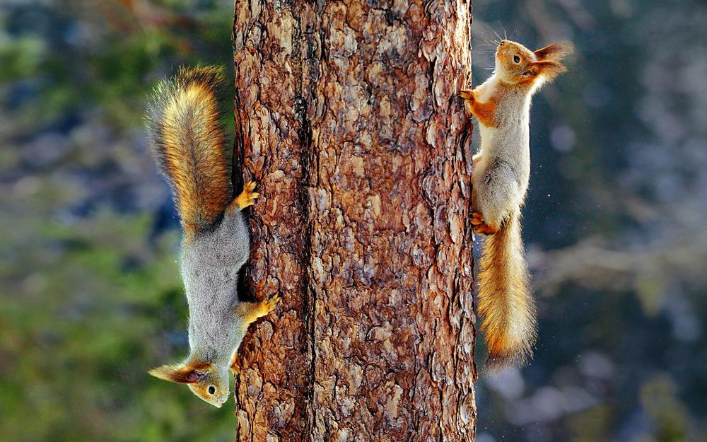 Squirrels, couple, forest, tree, climb, cute little squirrel wallpaper
