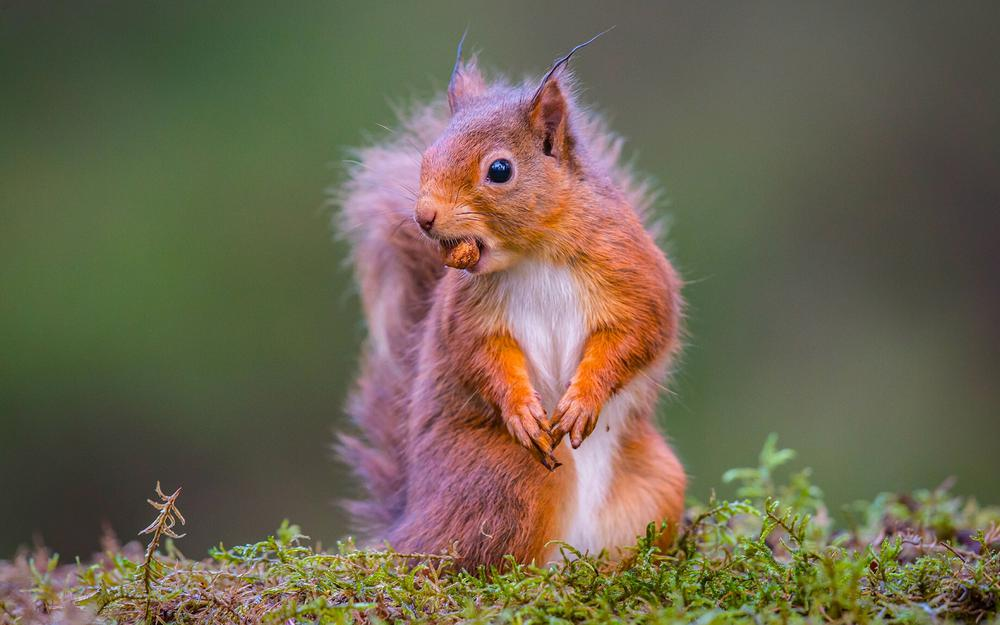 Squirrel, food, walnuts, lovely action expression, animal wallpaper