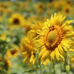 Sunflower, yellow, pollination, bees