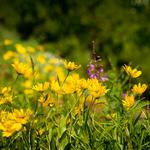 Yellow, wildflowers