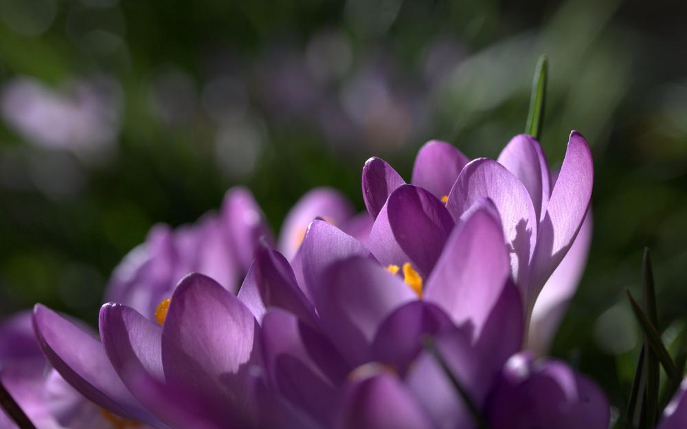 Saffron, purple, focus, purple, spring, crocuses, petals, macro, flowers