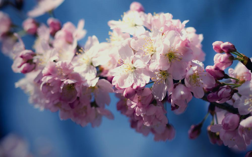Flowers, cherry, spring, bloom