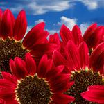 Red, sunflower, sky