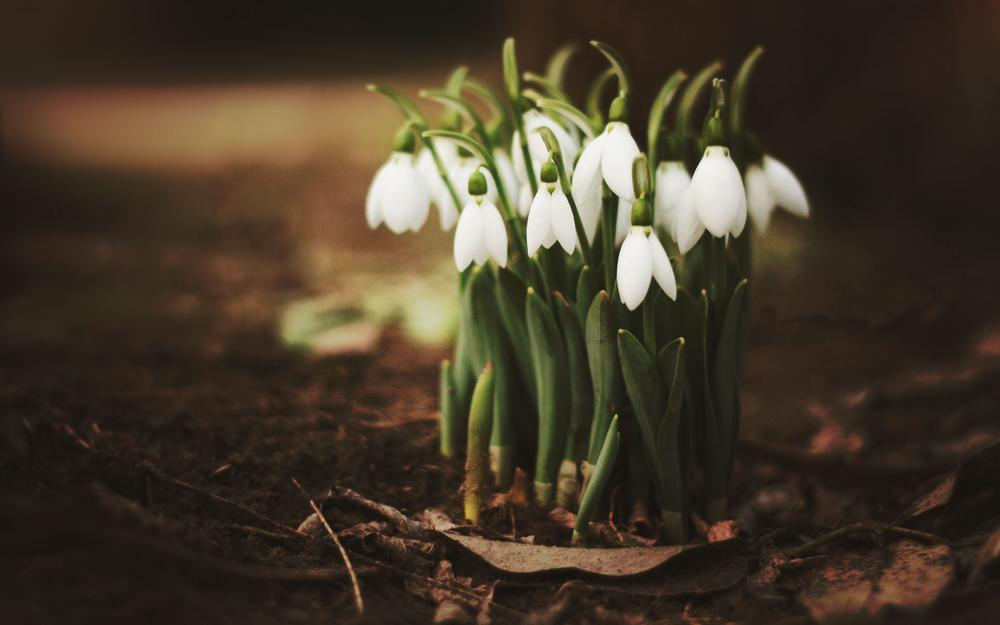 Leaves, snowdrops, spring