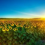 Dawn over sunflowers desktop background