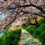 Path, river, green, trees, grass, cherry blossoms, spring