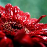 Macro, nature, flowers, dew
