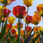 Tulips, wallpaper, flowers