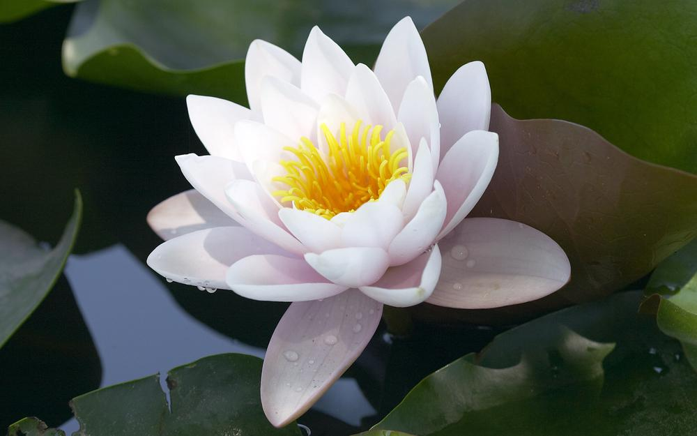 Pond, water lily, petals, water, lake, leaves, white