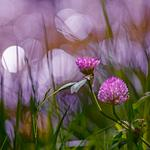 Summer, clover, light, flowers, bokeh, background, sirenevіy, grass