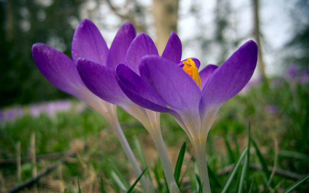 Close-up, crocus, forest, three flowers, purple, glade, blurring, spring, grass