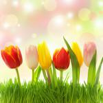 Tulips of various colors