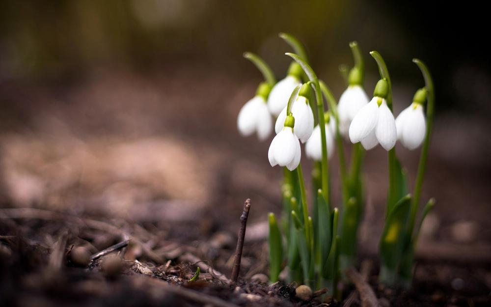 Nature, flowers, snowdrops, macro, spring, plant