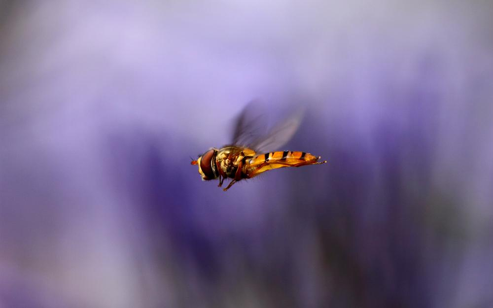 Bee, wings, flight