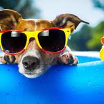 Dog, sunglasses, small yellow duck, cute wallpaper