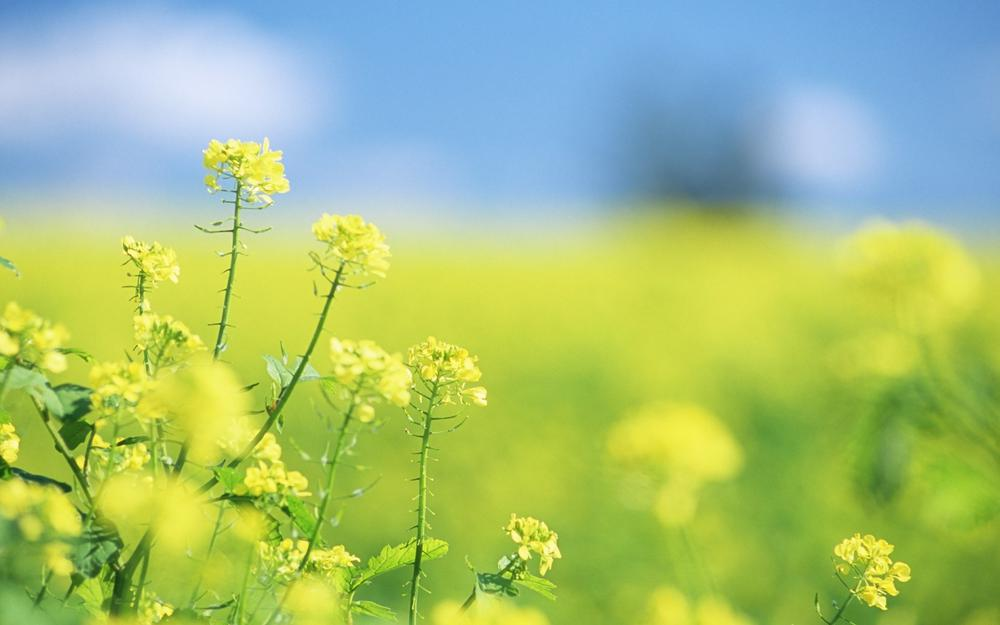 Summer, yellow, field, motion blur, focus, flowers