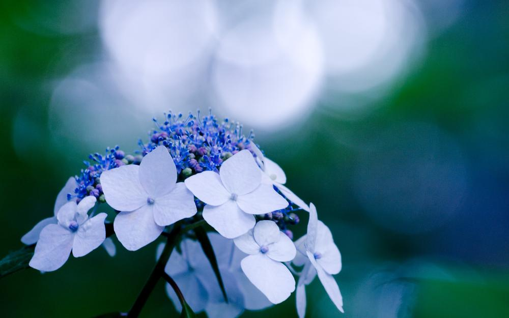 Flower, blue, reflections, plant, blue, close-up