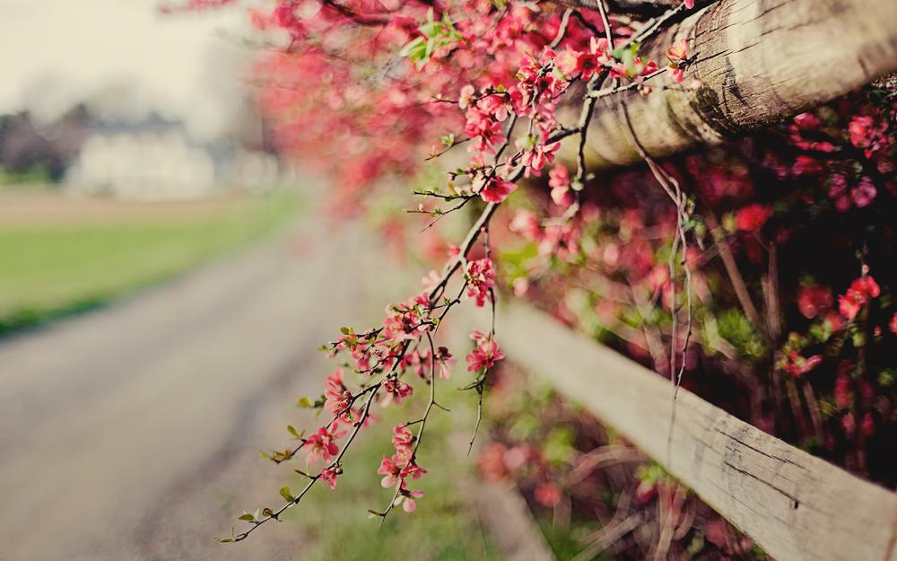 Flowers, fence, branch, quince bush, pink, fence