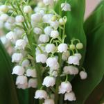 Bell orchids, flowers, lily of the valley, eye wallpaper