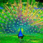 Peacock, tail, paint