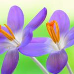 Flowers, purple flowers, nature, close-up photos of flowers, small fresh flower wallpaper
