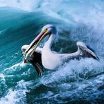 Mining, thai phung, waves, pelican