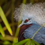 Crowned pigeon, new guinea