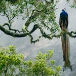 Peacock, birds, beautiful feathers, trees, branches, peacock wallpaper