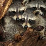 Three raccoons, tree, house, cute raccoon desktop wallpaper