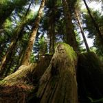 Forest, tall trees, green, blue, sky, nature landscape wallpaper