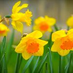 Daffodils, grass, petals, spring desktop wallpaper