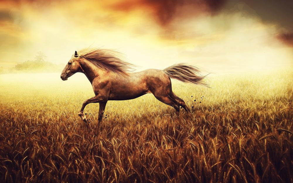 Horse, horses, wheat, gallop