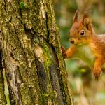 Forest, cute squirrel, posture, trees, forest animals cute little squirrel desktop wallpaper