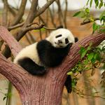 Panda, a national treasure, in the trees to sleep, relax, pictures of trees, leaves, animal themes computer wallpaper